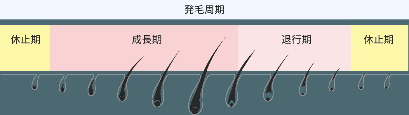 発毛周期 休止期 成長期 退行期 休止期